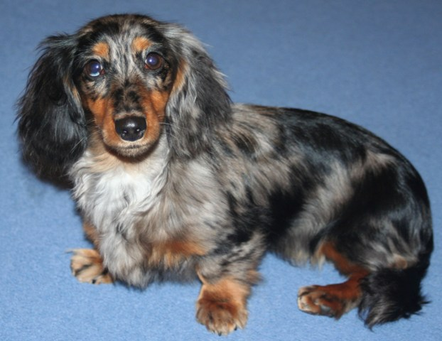 Merl-Dapple Miniature Long Haired Dachshunds