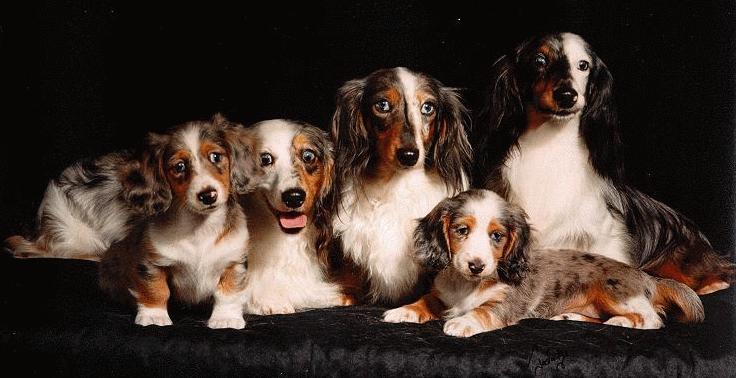 Miniature Long Haired Dachshunds Double Dapple