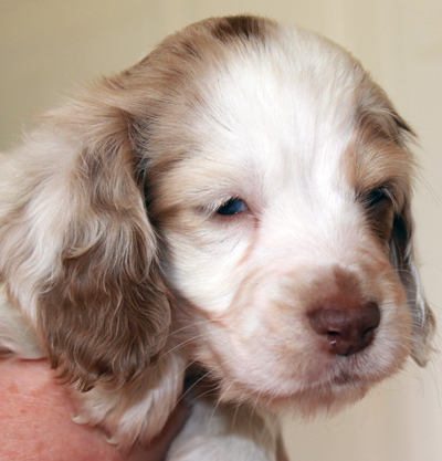 Miniature Long Haired Dachshund Puppies For Sale Fenellafleur